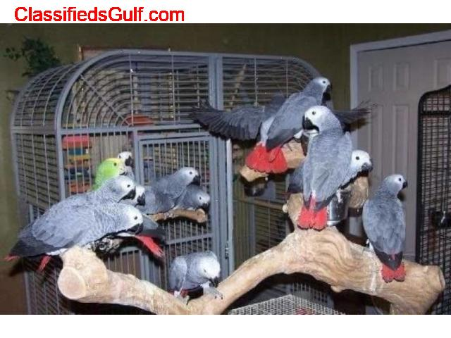 CONGO AFRICAN GREY PARROTS READY FOREVER HOME