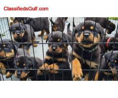 Rottweiler Puppies Girls and boys For Sale.. +447440524997