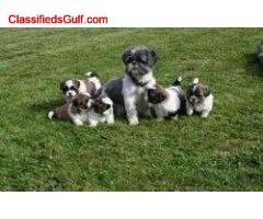 Adorable Shih Tzu Puppy's.. +447440524997