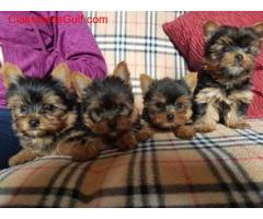 Yorkshire Terrier Puppies.. +447440524997