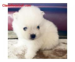 Pomerania Puppies available for sale