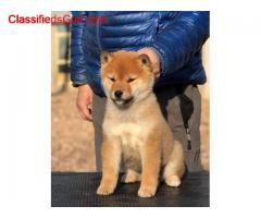 Shiba inu puppy for rehoming