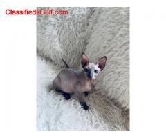 Sphynx and Bengal  kittens ready