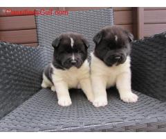 Beautiful Akita puppies ready for their new home