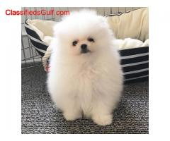 Pomeranian puppies for sale whatsapp me on +1 (832) 356-3887