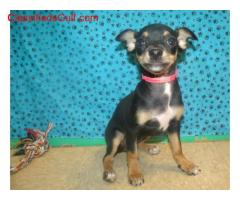 ice and Healthy chihuahua Puppies Availables