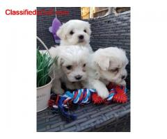Maltese   Puppies available  /whatsapp  to   055 226 3211