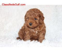 Toy Poodle   Puppies  /whatsapp  +971 52 468 4062