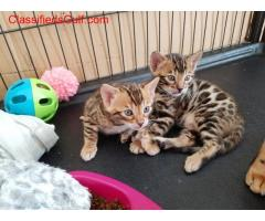 Sphynx and Bengal  kittens for sale