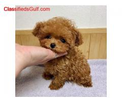 cute toy poodle Puppies for sale