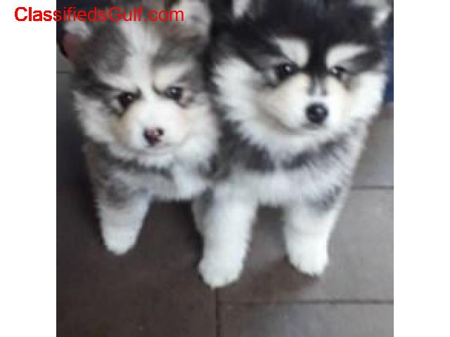 Lovely Pomsky puppies for sale